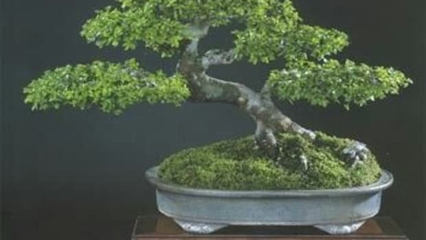 bonsai-care-maintenance