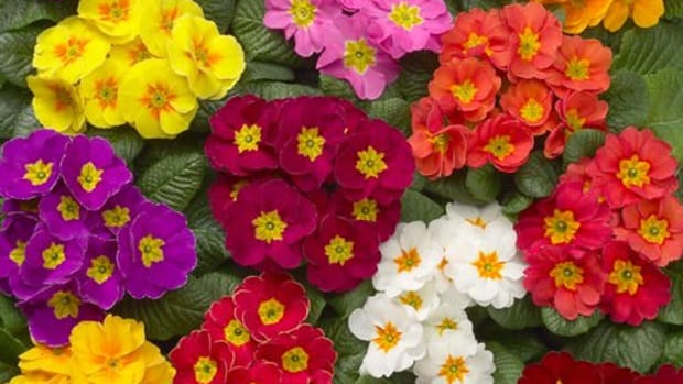 growing-primrose-flowers-as-annuals-or-perennials