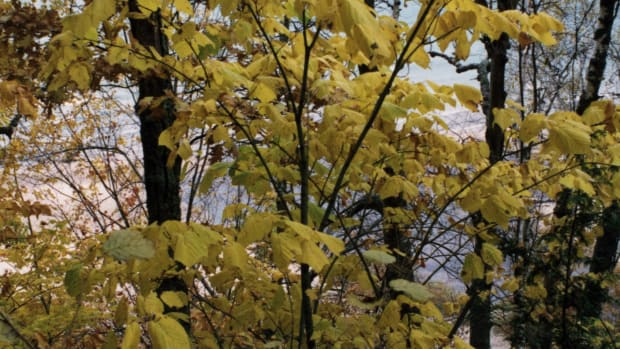 striped-maple-planting-tips-facts-and-uses