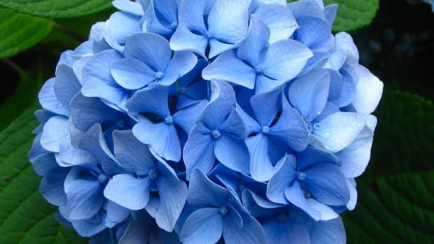 planting-and-caring-for-colorful-hydrangeas