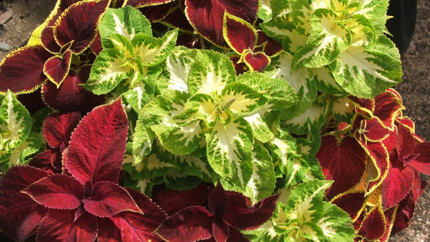 how-to-care-for-the-coleus-plant