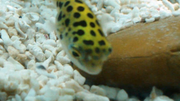 green-spotted-puffer-fish-care-feeding-tank-setup