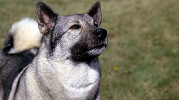 great-names-for-your-norwegian-elkhound