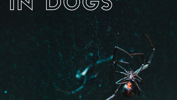 the-danger-of-a-spider-bite-to-your-dog