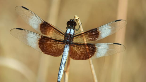 interesting-facts-and-information-on-the-dragonfly