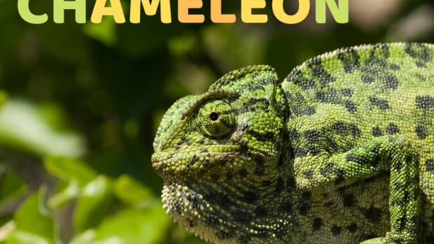 the-common-chameleon-is-found-in-portugal-and-is-the-only-chameleon-found-in-europe