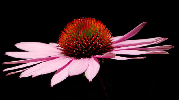 how-herbs-work-echinacea-natures-immune-enhancer