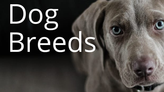 10-rarest-dog-breeds