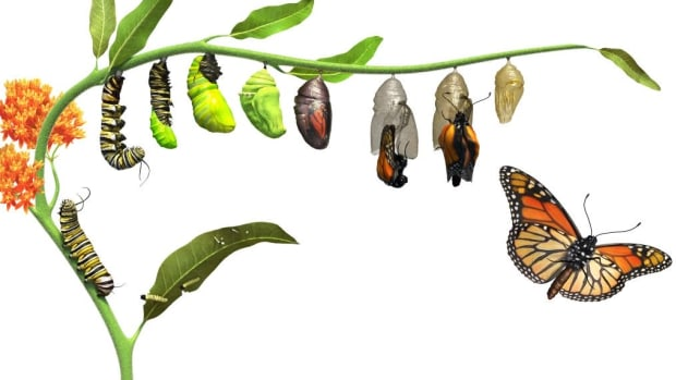 why-caterpillars-turn-into-butterflies