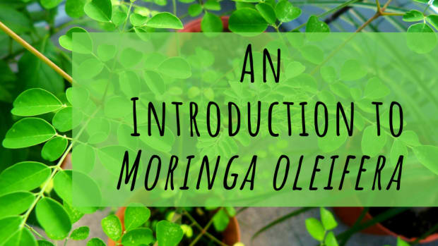 moringa-tree-of-life-or-scam