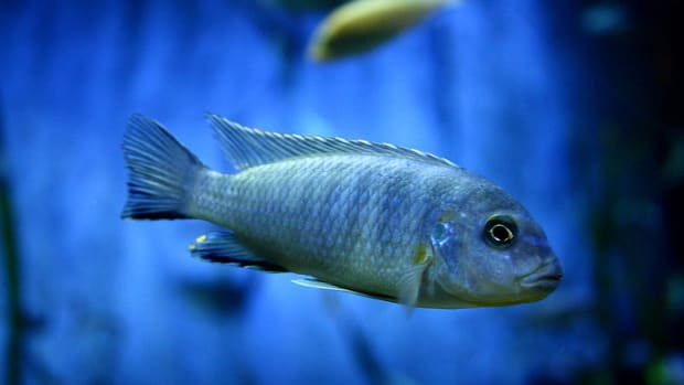 semi-aggressive-freshwater-fish-for-a-tropical-aquarium