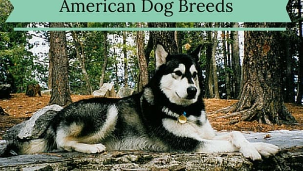 5-dog-breeds-that-originate-in-the-united-states