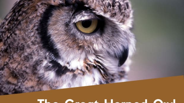the-great-horned-owl