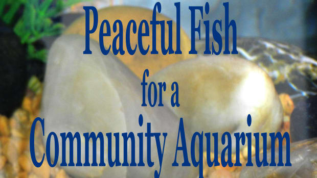 peaceful-community-fish-for-a-freshwater-aquarium