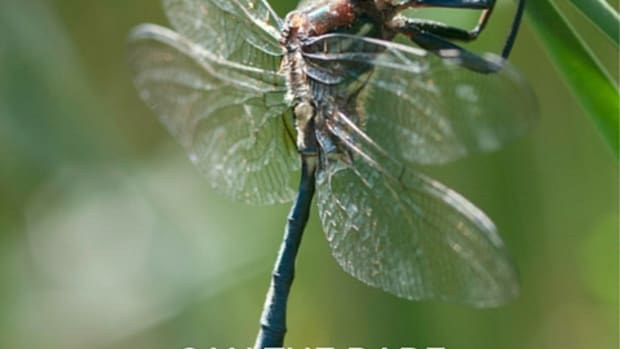 can-the-rare-emerald-hines-dragonfly-be-saved
