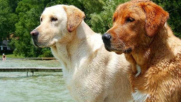 obesity-appetite-and-a-mutation-in-labrador-retrievers