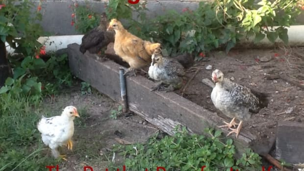 raising-chickens-the-pet-that-pays-for-itself