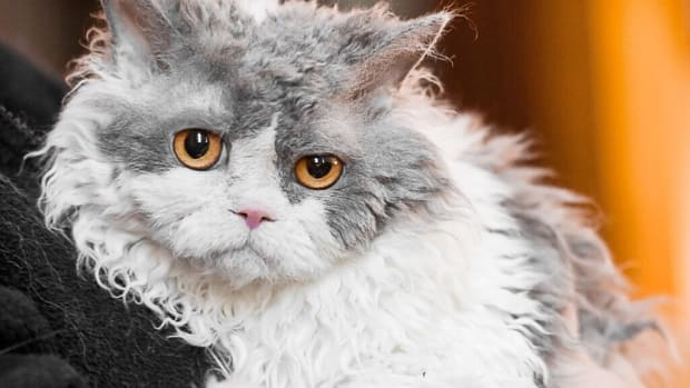 selkirk-rex-cat-breed-features-origin-and-pompous-albert