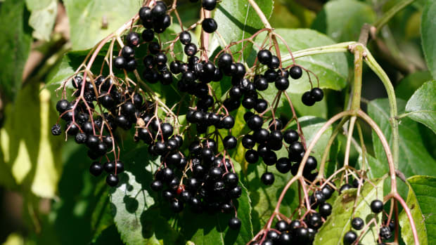 making-elderberry-mead-honey-wine