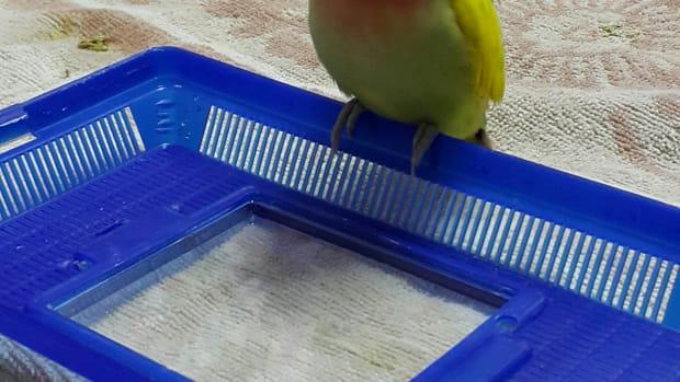 hand-raising-a-baby-lovebird