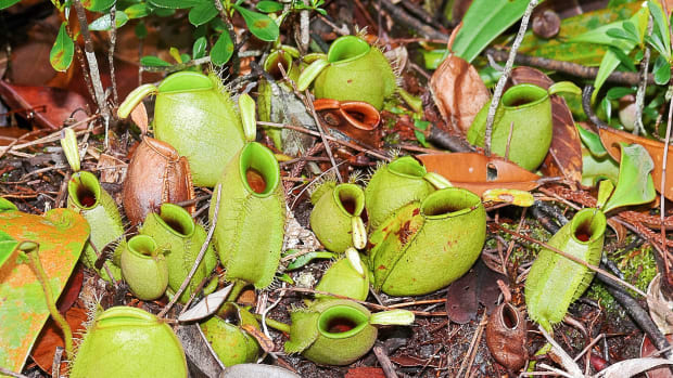 a-pitcher-plant-gluten-digestion-and-celiac-disease