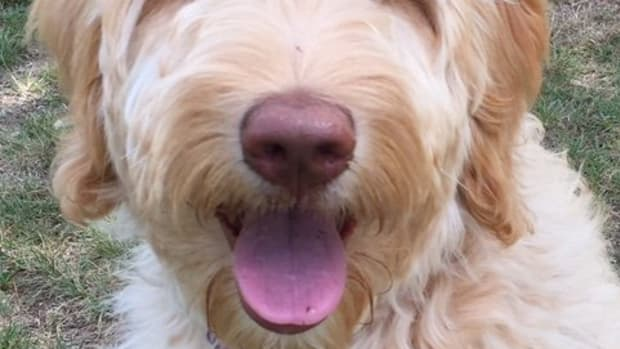 the-double-doodle-the-latest-and-greatest-in-dog-breeds