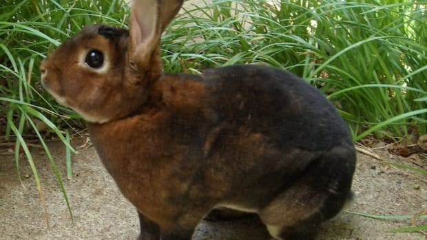 best-pet-rabbit-breeds