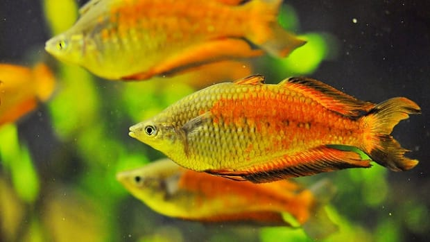 the-story-behind-the-song-three-little-fishies