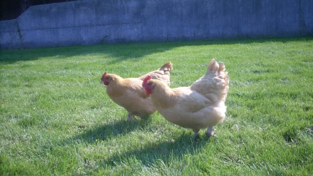 growing-your-own-chicken-feed