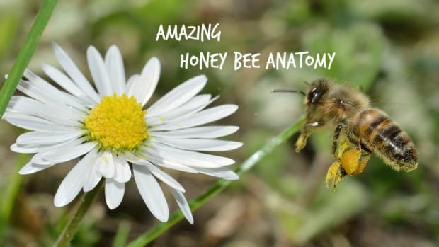 honey-bees-have-hairy-eyes-and-other-amazing-facts-about-honey-bee-anatomy