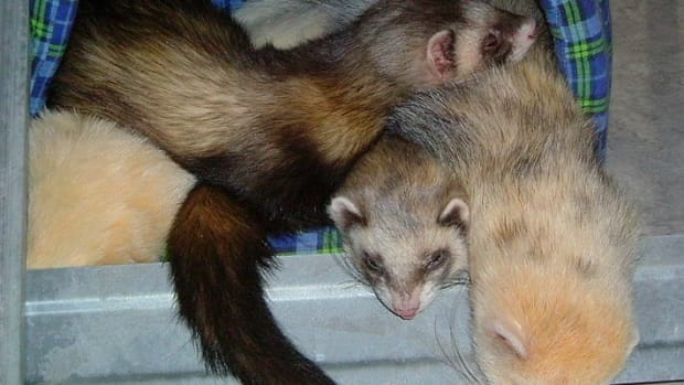 is-a-ferret-the-right-pet-for-you