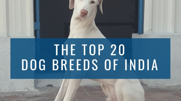 top-10-indian-dogs-and-cost-in-india