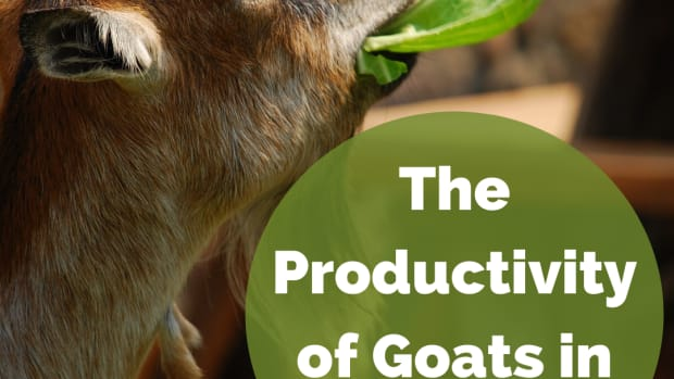 goats-in-farming