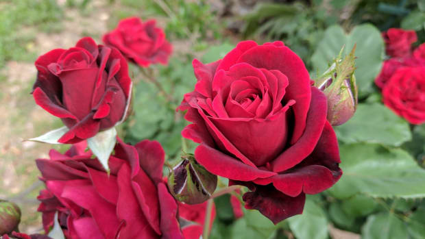 the-meaning-of-roses