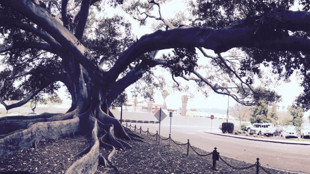 the-big-tree-of-santa-barbara-lyrical-poem