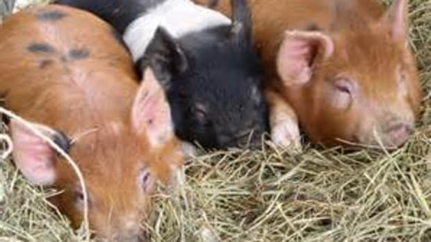 a-show-pig-family-its-a-lifestyle