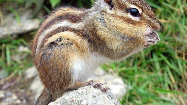 invasive-species--chipmunks-in-france