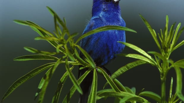 the-indigo-bunting-beautiful-songbird-of-the-americas