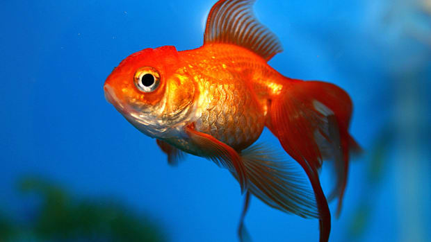 how-to-care-for-goldfish