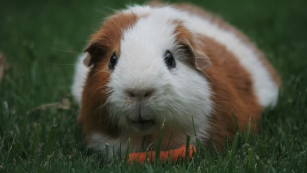 do-guinea-pigs-make-good-pets
