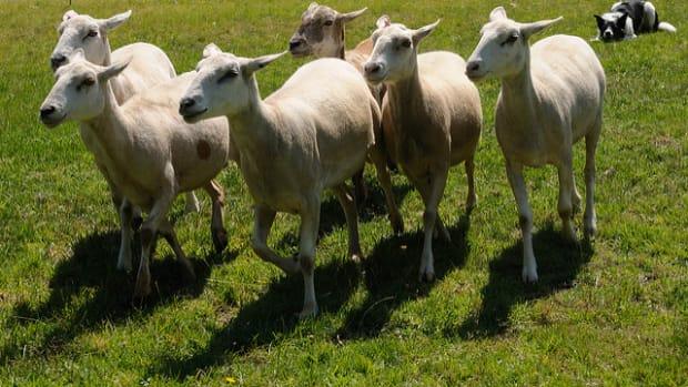dog-worrying-sheep