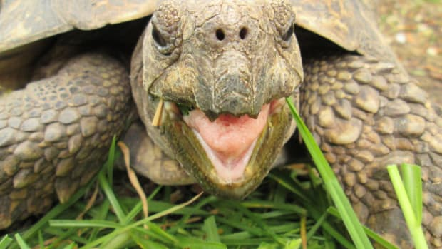 four-reasons-your-leopard-tortoise-has-a-bubbly-nose