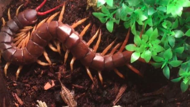 vietnamese-centipede-care-and-maintenence