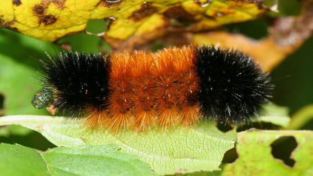 can-woolly-bear-caterpillars-predict-the-weather