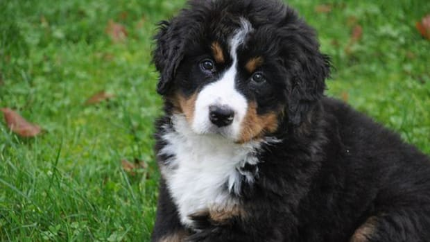 12-names-from-swiss-folklore-slang-and-mythology-for-bernese-mountain-dogs