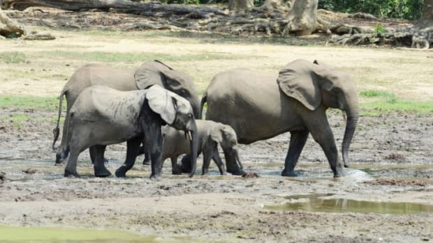 all-about-the-african-forest-elephant