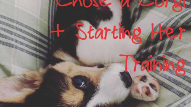 pet-care-raising-a-corgi-puppy