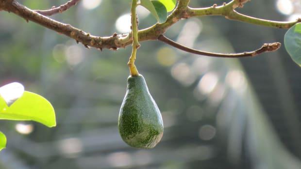 the-lonely-avocado