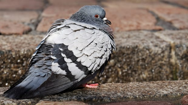 the-pigeon-short-story