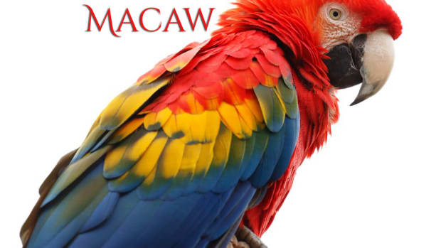 scarlet-macaws